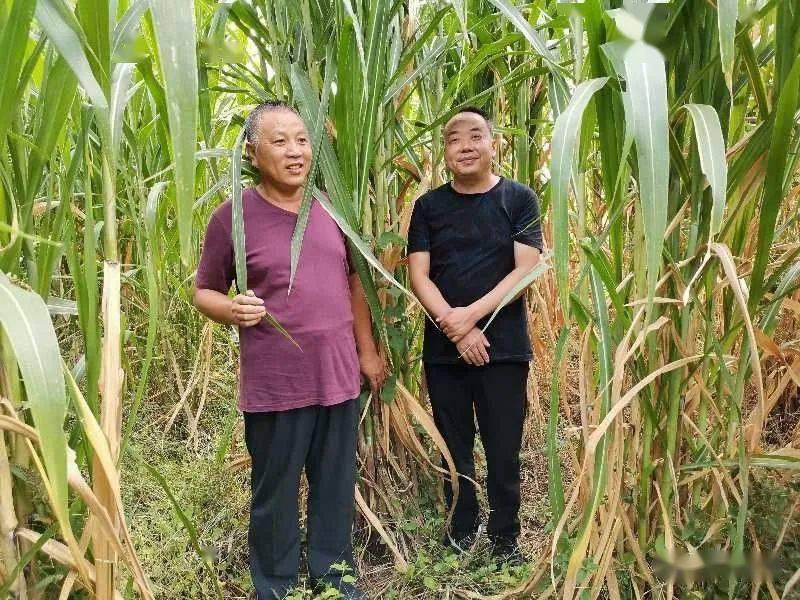 南漳县引进的巨菌种植音乐成长喜人