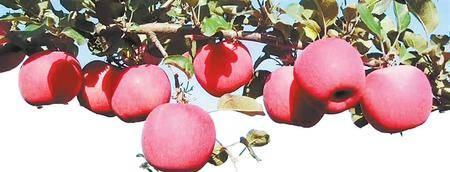 """今年""""赣威""""苹果的售价是多少?"""