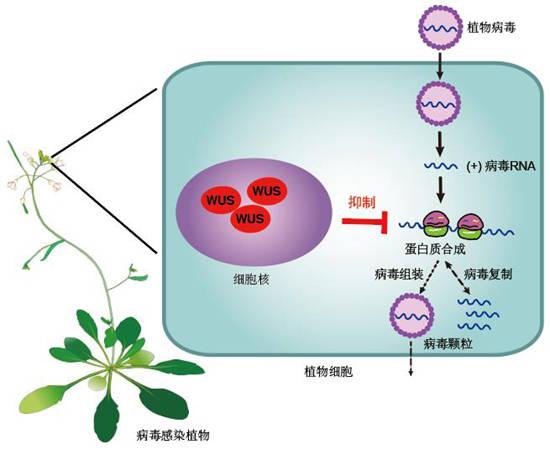 中国科学家在植物干细胞中发现免疫病毒