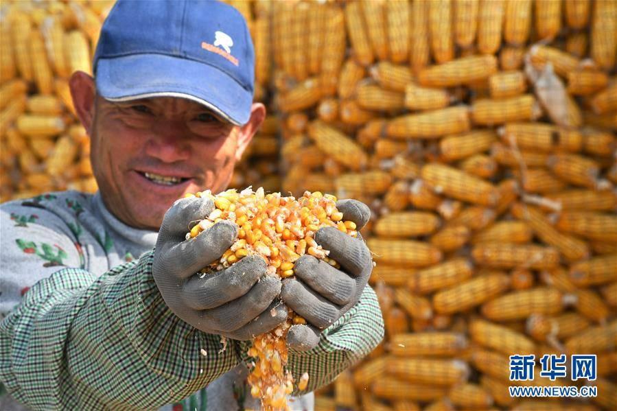 山东青岛:金秋玉米喜丰收