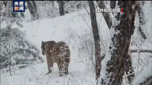 恒达首页小兴安岭首次找到东北虎吃熊珍贵影像证据,现场留有虎的卧迹 (图14)