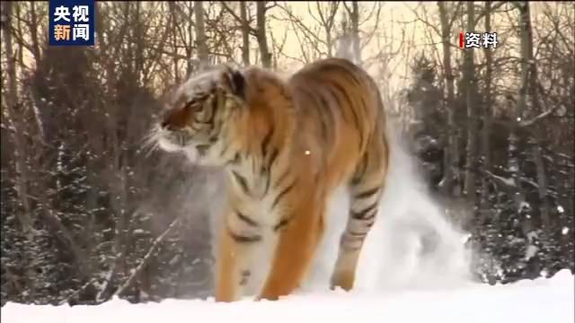 恒达首页小兴安岭首次找到东北虎吃熊珍贵影像证据,现场留有虎的卧迹 (图11)