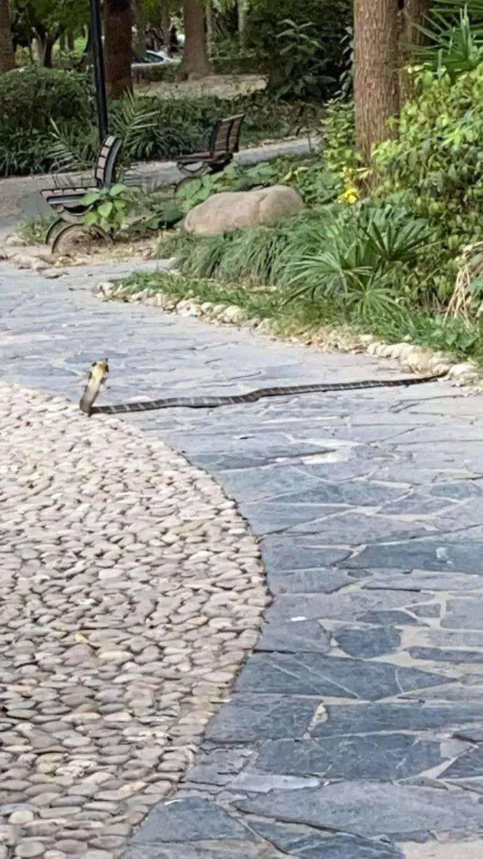 2.1米长的眼镜王蛇惊现上海一小区已被处置,或为居民饲养