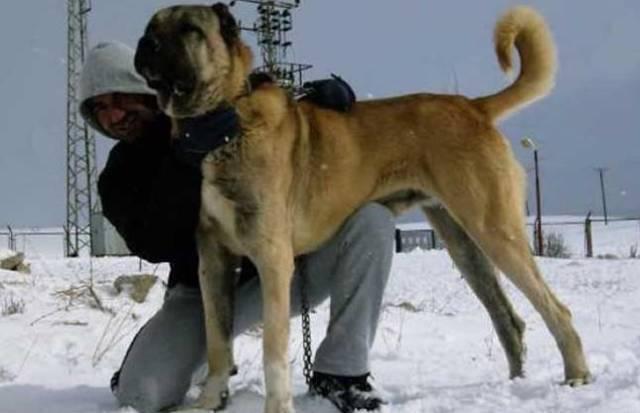 巨型犬排行_可猎杀狼的巨型犬种有它一席之地