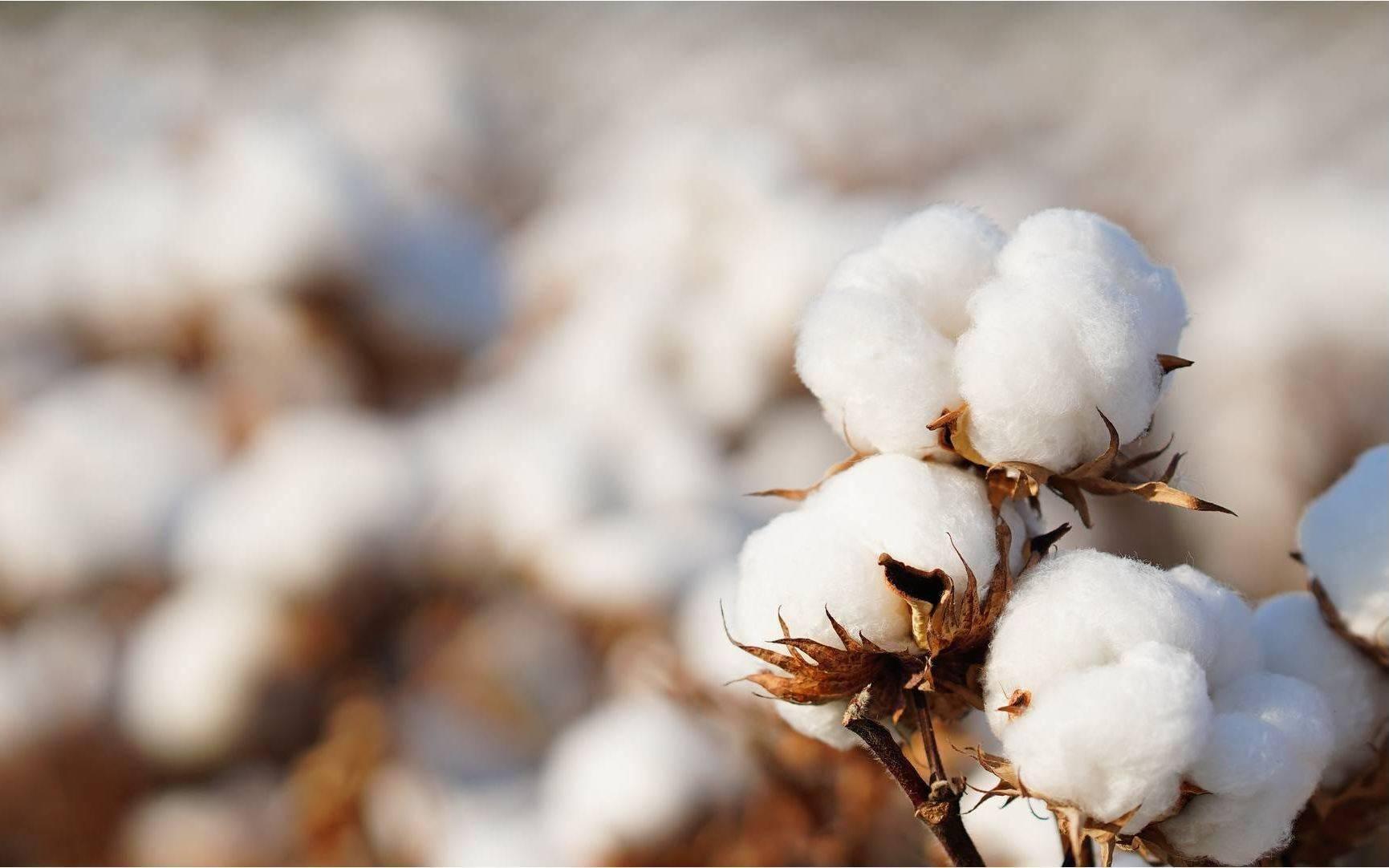 我科学家发掘出多个棉花优质基因