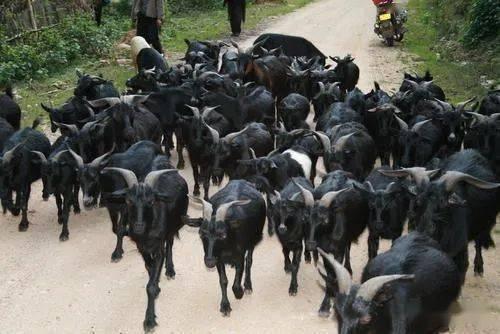冬季黑山羊养殖应该注意哪些问题?