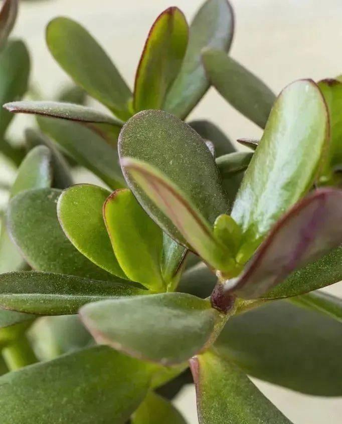 【盆栽】客厅空荡荡,就养三种花,寿命长寓意好,养护简单