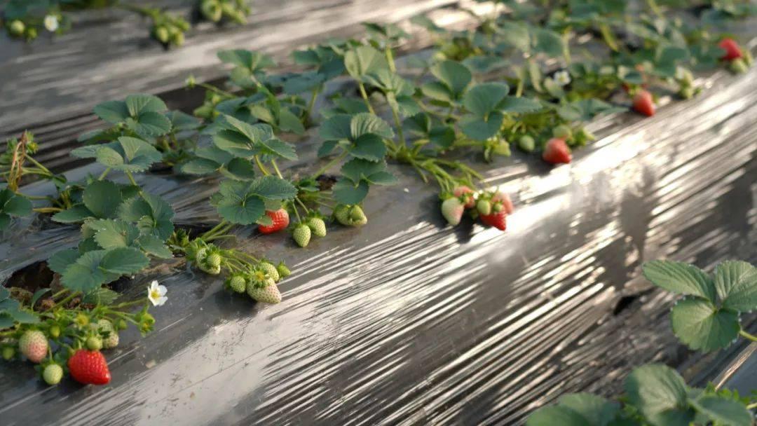 """孟津摘草莓的好去处,遇见冬日里的小""""莓""""好"""