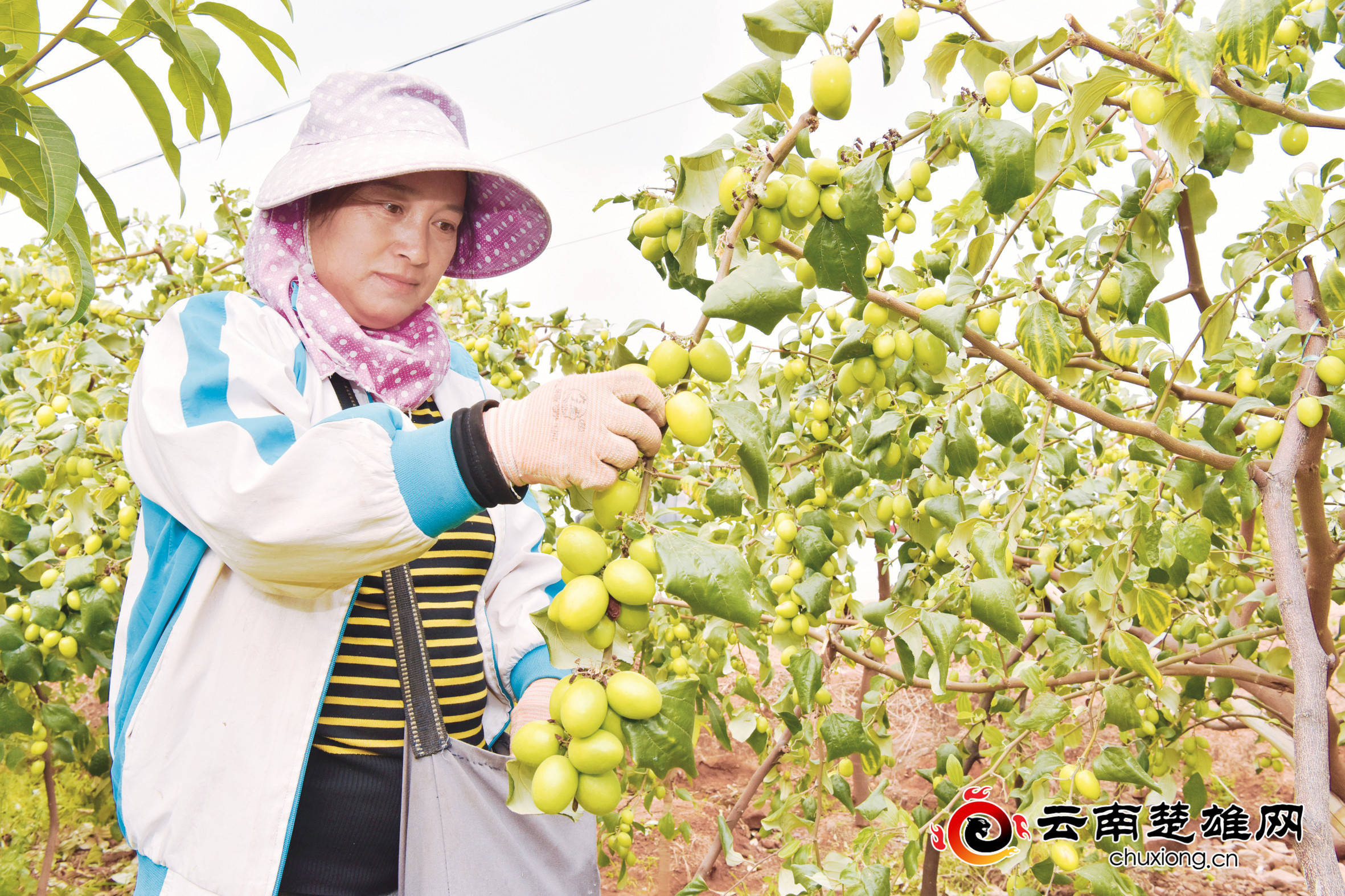 元谋县上万亩青枣成熟上市