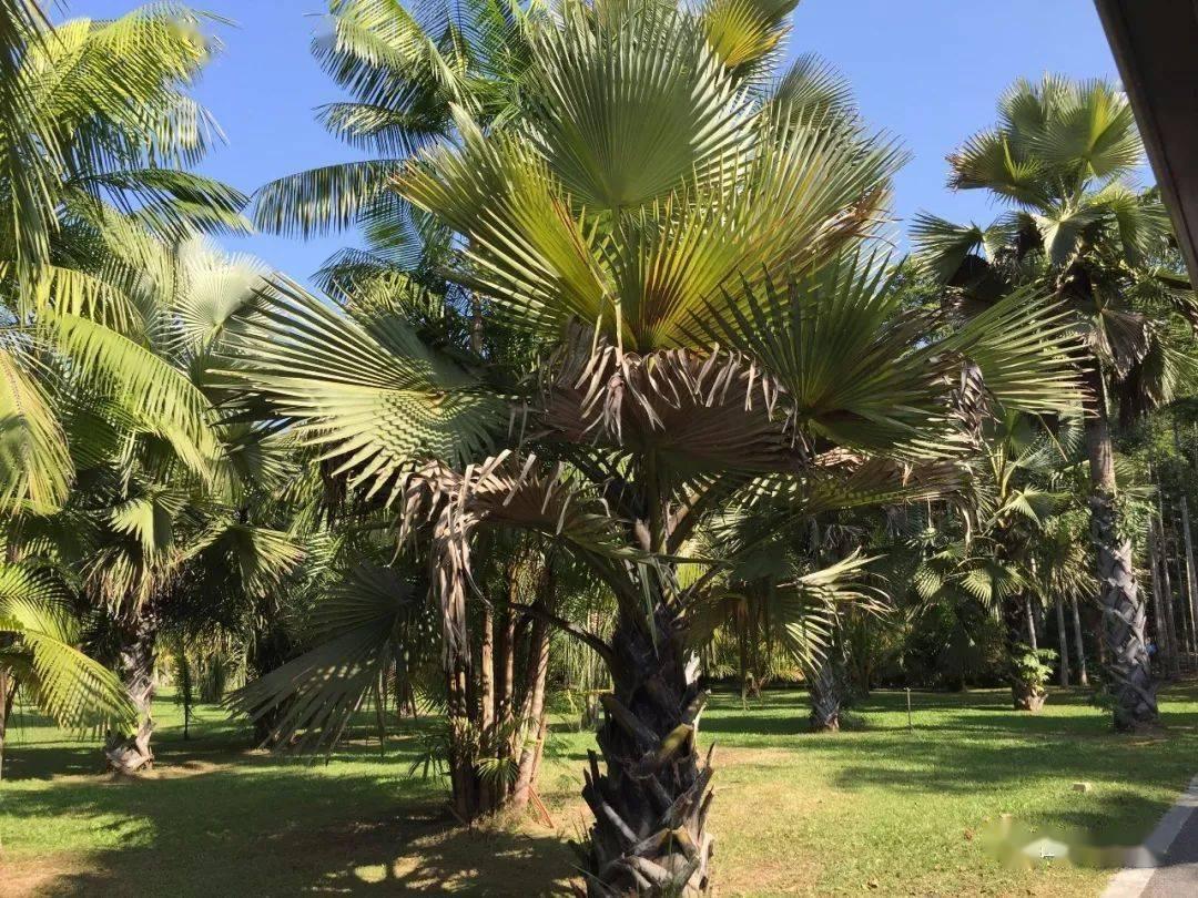 保鲜柜水果保鲜展示柜_又见棕榈,又见棕榈_保鲜棕榈树