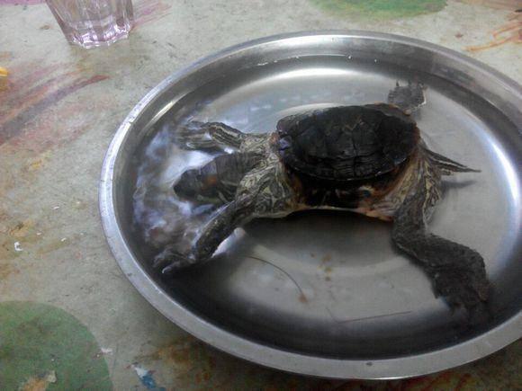 养乌龟放多少火合适(养乌龟的六大禁忌)