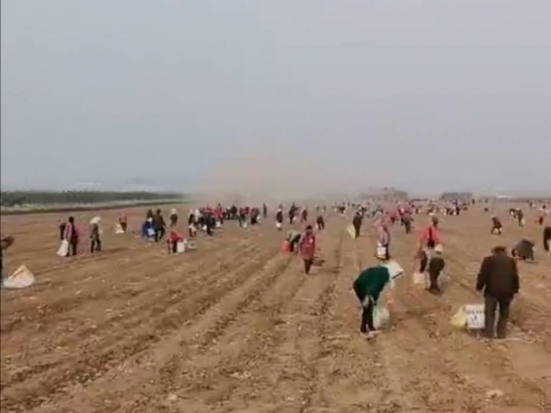 土地承包商收割花生,附近上百村民赶来捡拾,承包商急哭了