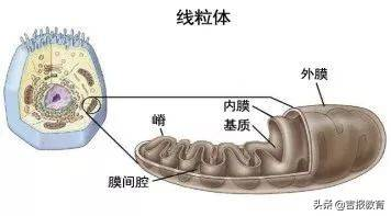 细胞呼吸的三个阶段(光合作用三个阶段图解)
