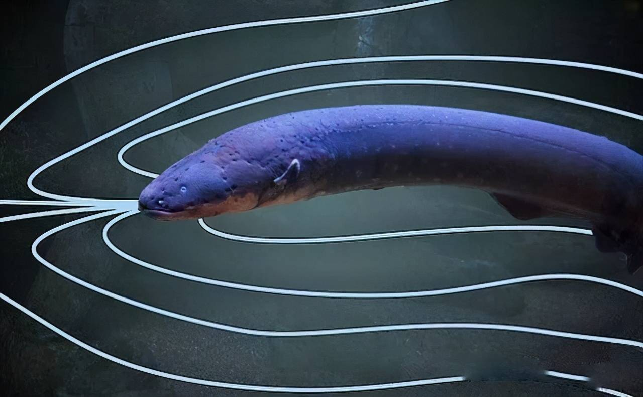 电鳗死了还能放电吗(电鳗会不会被电鳗的电电死)插图(6)