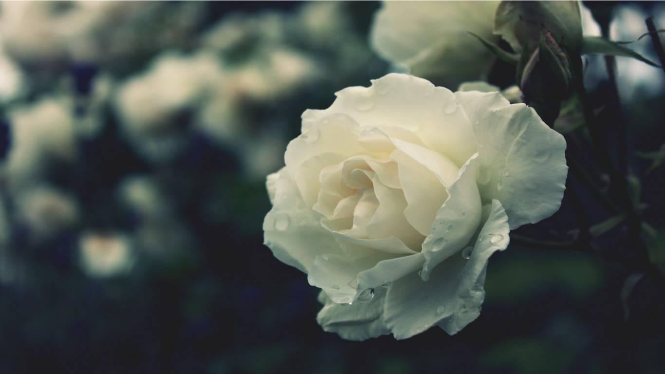 黑色玫瑰的花语是什么意思(黑玫瑰和白玫瑰分别代表什么)插图(1)