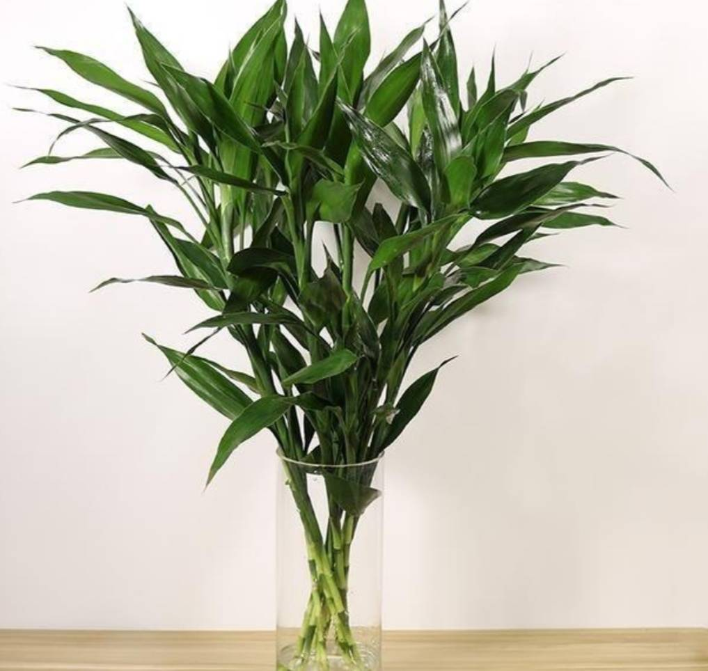 富贵竹养护之修剪篇,2个关键点,你需要这样处理  富贵竹长太高从哪里剪