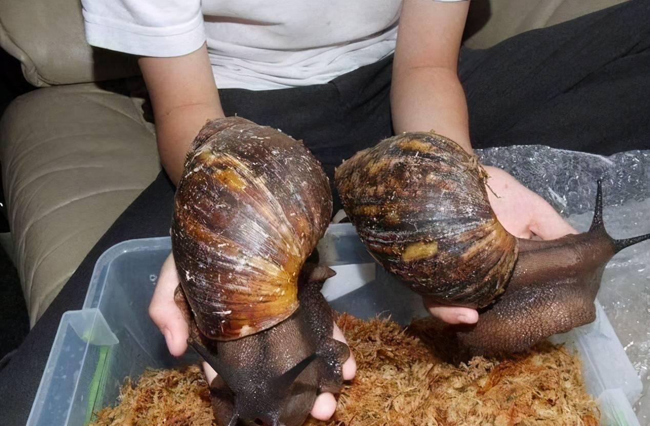 非洲野味入侵全球:在这种巨型蜗牛面前,中国吃货根本拽不起来