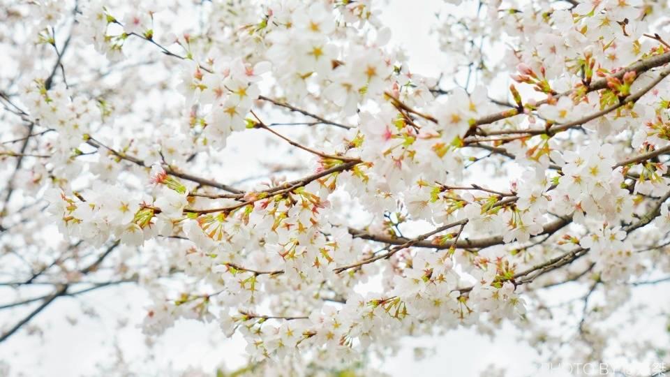 原创             国内两处赏樱胜地,一个免费一个收费,那么人气谁更胜一筹?