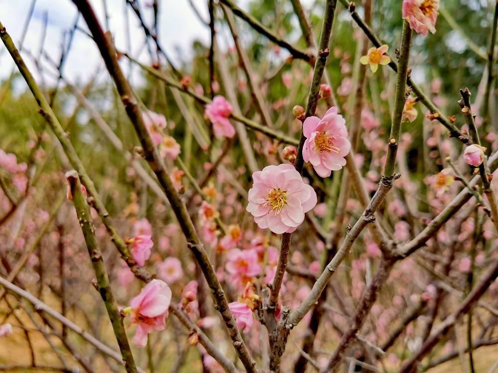 深圳梅园:第一次来这里赏梅,原来不同品种的梅花是相继开放的