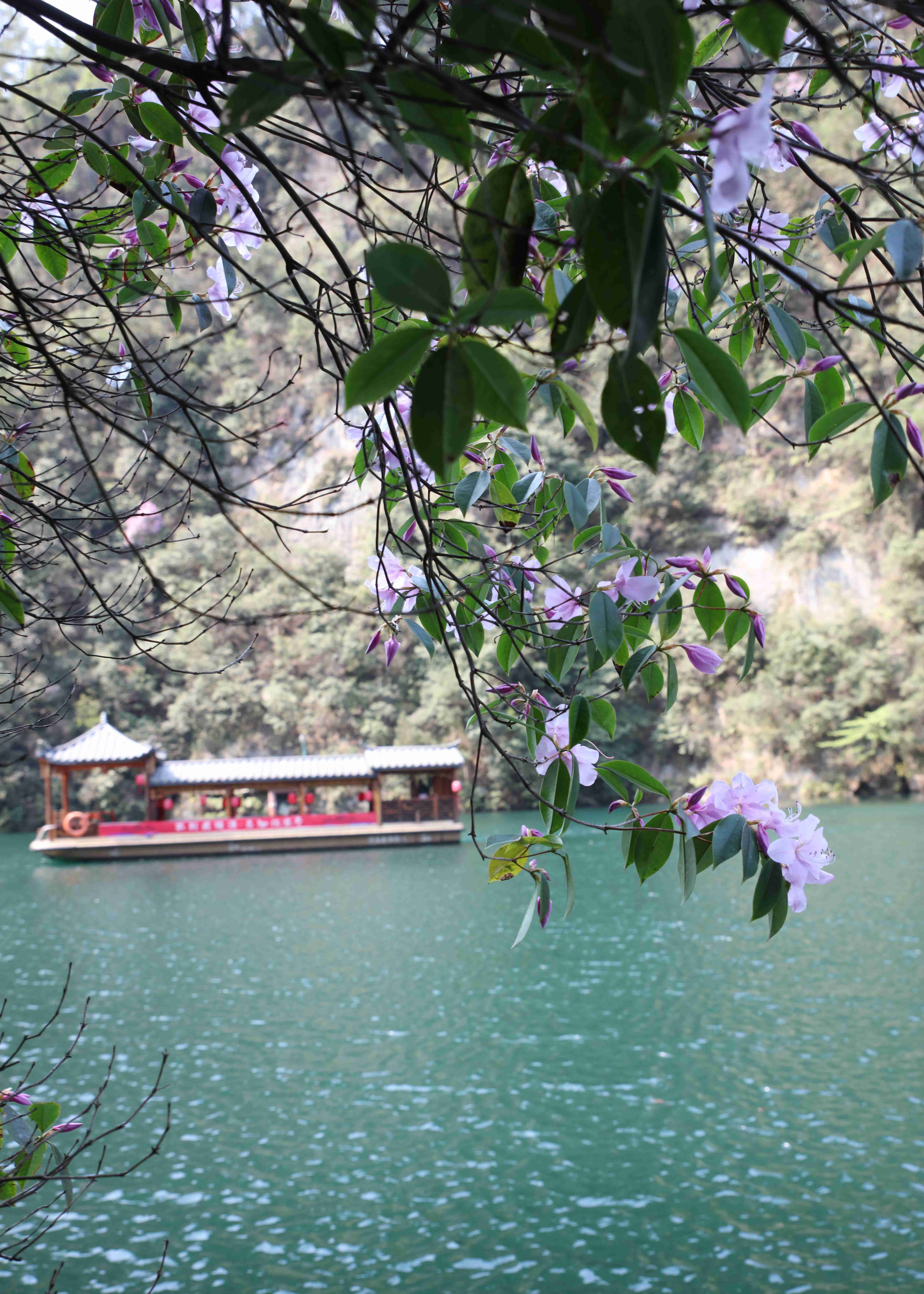 张家界宝峰湖景区:杜鹃花山间绽放 湖光春色美景如画