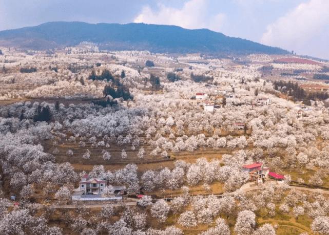 云南个旧加级寨千树万树梨花开 万亩梨园绽放魅力春景