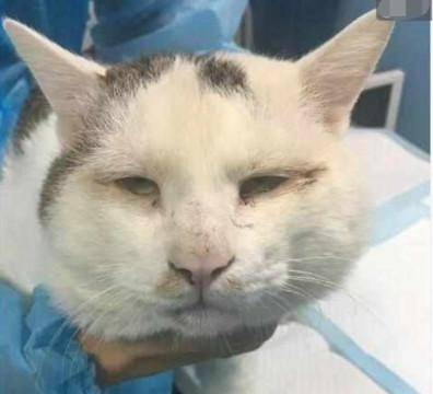 主人带猫咪去割双眼皮,手术完后,猫咪的丧脸