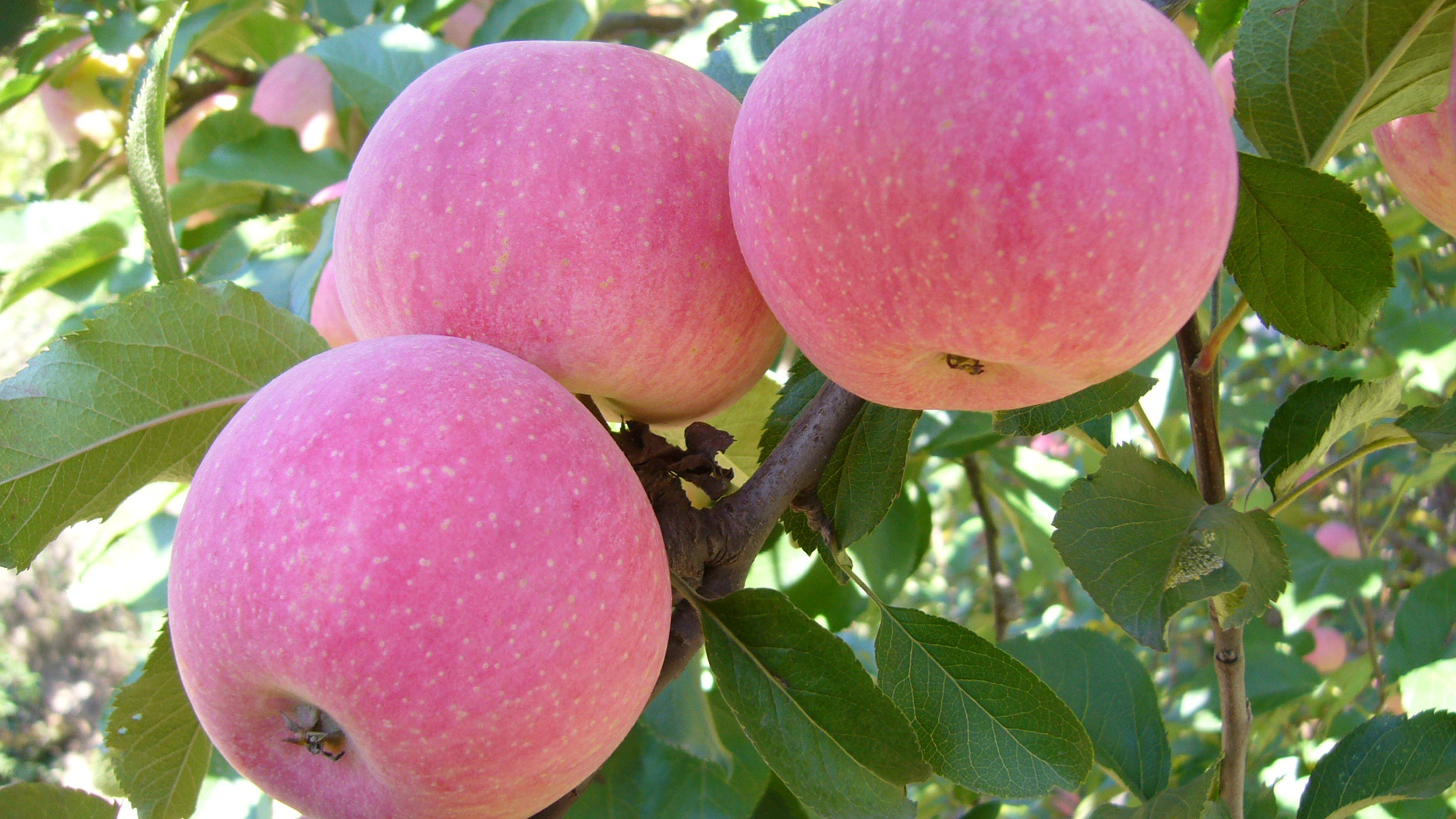 心理测试:口渴时你会摘哪个苹果吃?测你最近有什么好事要来了  第3张