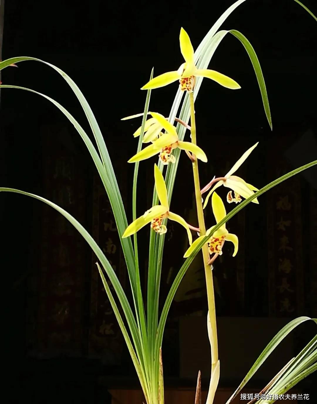 让兰花经常开花的方法  如何让兰花长得壮