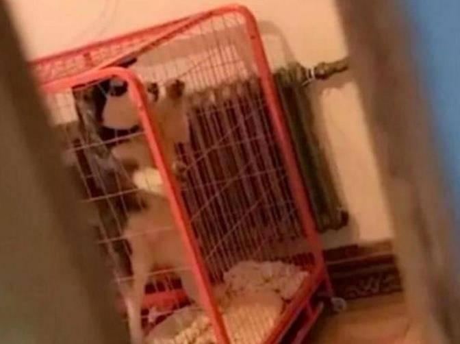 哈士奇一直关在笼中,却意外怀孕