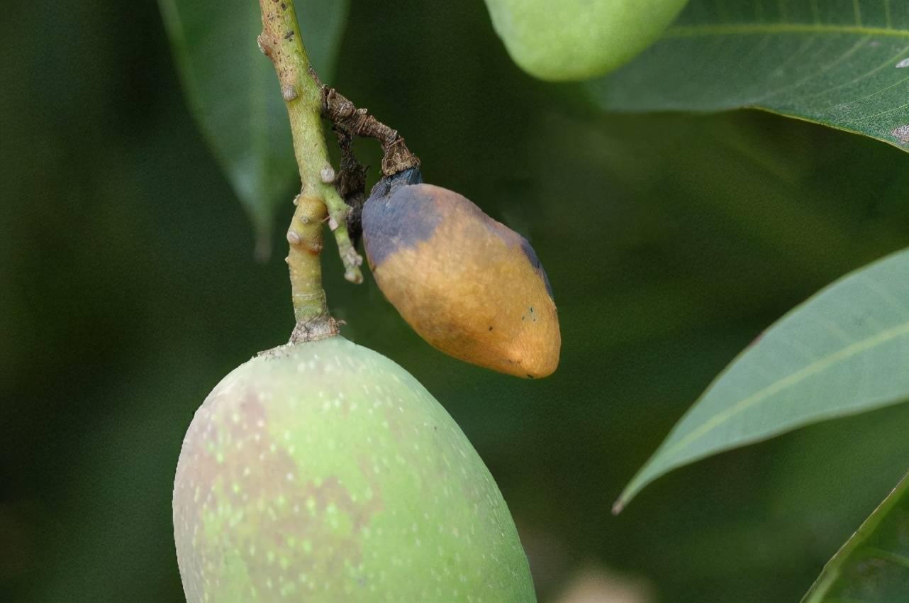 柑橘蒂腐病(番荔枝蒂腐病)