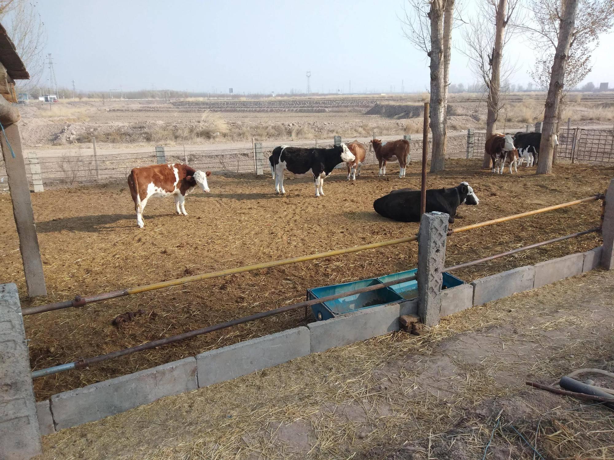 梦见自己成了养牛大户? 做梦梦见吃牛头