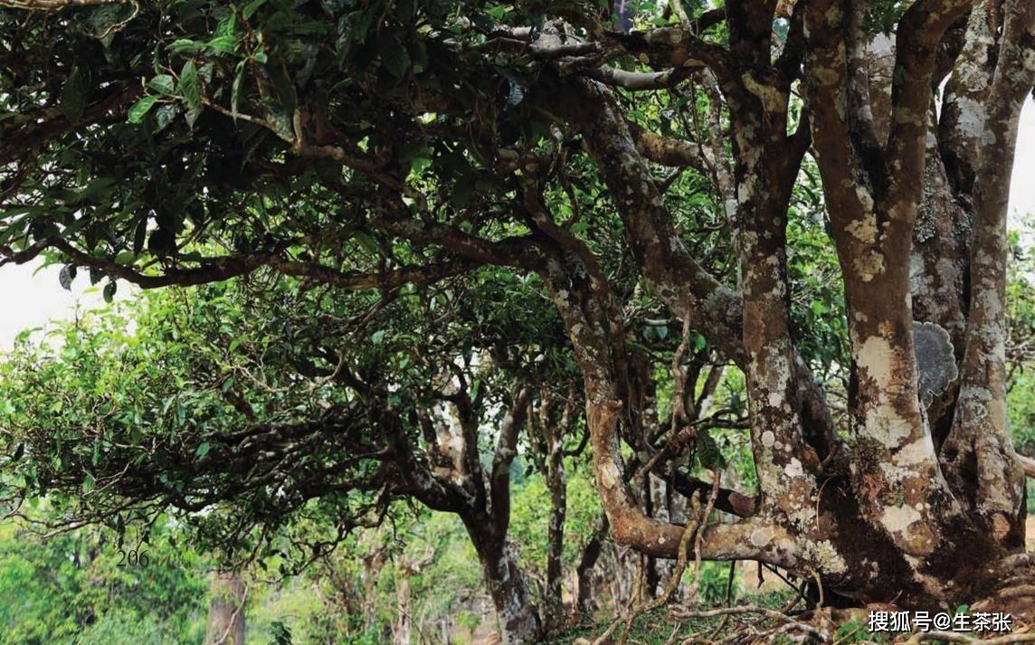 从已故古茶树中我没弄学会了什么,珍惜保护好现存古茶树!