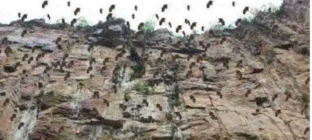 20年前悲剧将重演?新疆30万老鼠集体跳崖自杀,专家:必须重视了