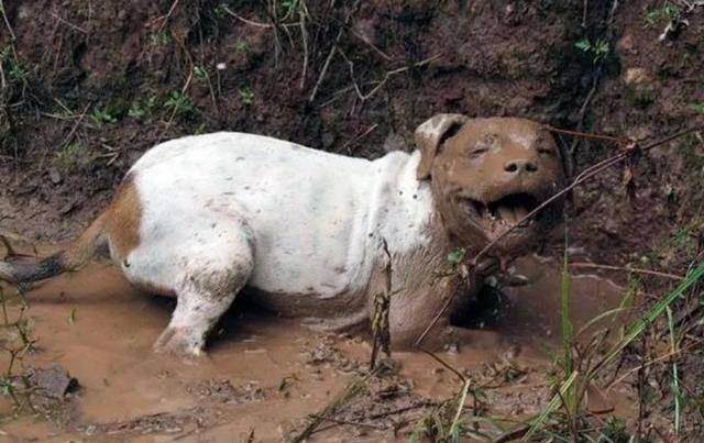 拉布拉多糟蹋菜地變泥狗,菜園主人氣不打一處來:我剛澆的地
