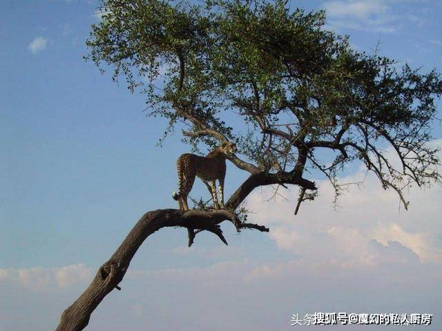 猎豹为什么喜欢跳车顶?猎豹跳车顶和老虎跳车顶有什么不同?