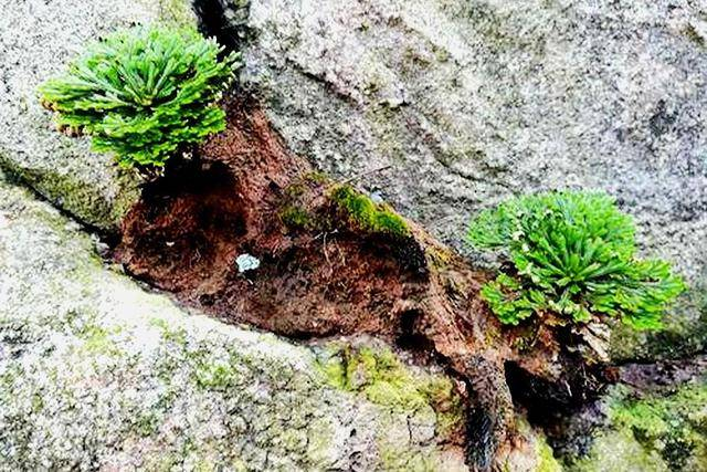 """此""""杂草""""若长在你家墙上,干枯时记得浇水,""""见水还阳""""又复活"""
