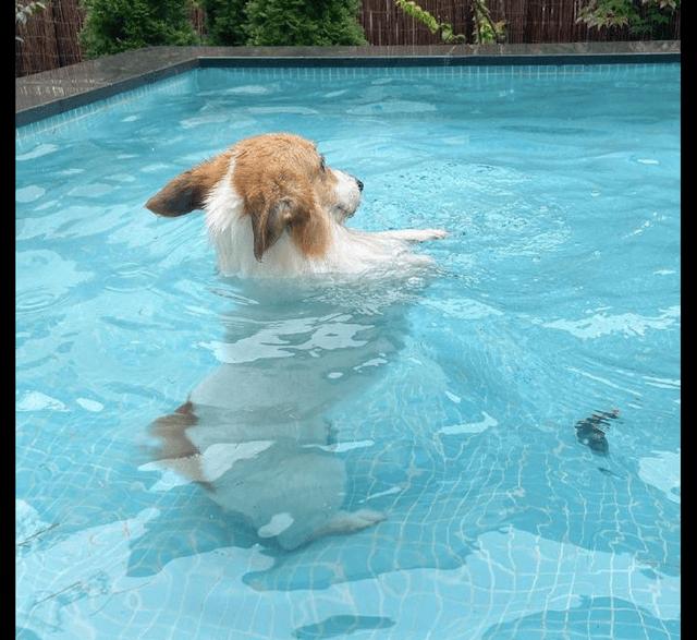 小短腿狗狗在泳池里学游泳,站在水里一动不动,看得出来很努力了