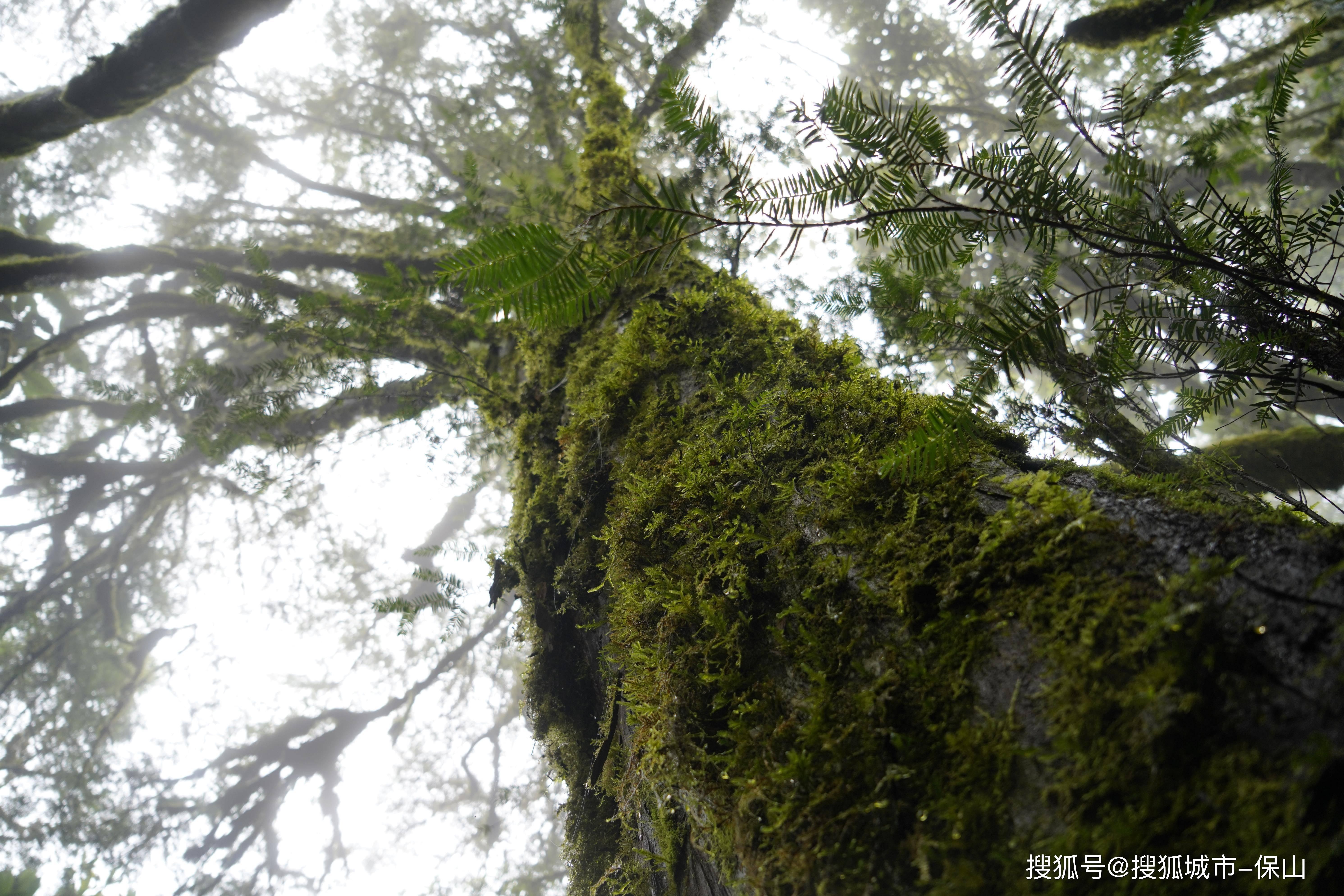 生物多样性:昌宁发现一株树龄500年以上的国家一级保护植物云南野生红豆杉