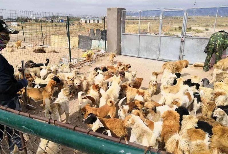 """从""""屠宰场""""救回来的数千只流浪狗饥荒中,急需救助~"""