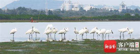 海南越冬水鸟调查:17年里首次发现普通秧鸡(图)