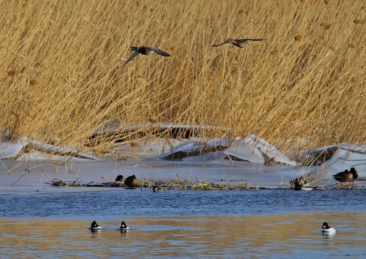 水质变好,副中心水域引来20多种鸭科鸟类栖息