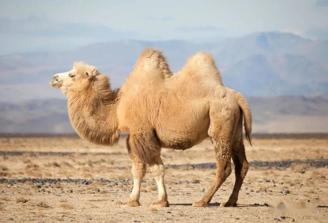 学生梦到在沙漠里骑骆驼 沙漠骑骆驼图片