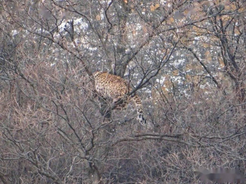 奇!山西一只金钱豹遭狗群围攻!护林员报警请警察解救  第1张