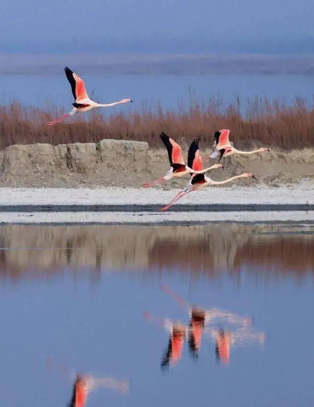 山西运城生态改善,大年初一气温回暖,火烈鸟常年栖息盐湖!  第1张