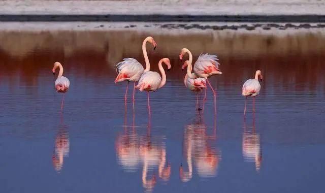 山西运城生态改善,大年初一气温回暖,火烈鸟常年栖息盐湖!  第5张
