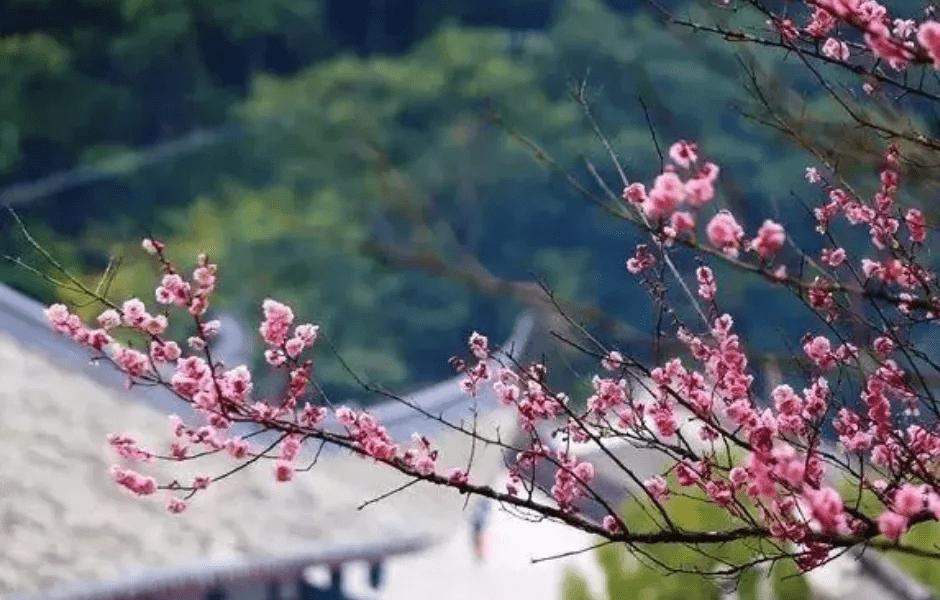"""南岳梅花进入盛期,""""梅""""好时节不容错过"""