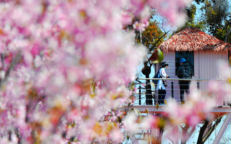 福州:满园樱花开 踏春正当时