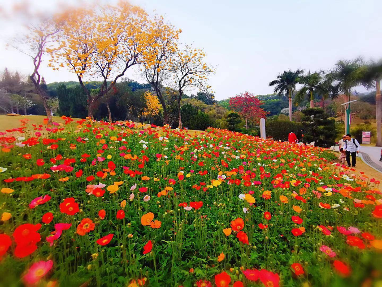 花城看花丨天河公园,虞美人花开,春摇荡!