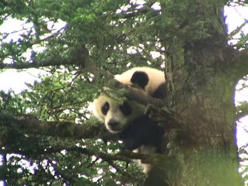 四川一巡护员七次拍到野生大熊猫