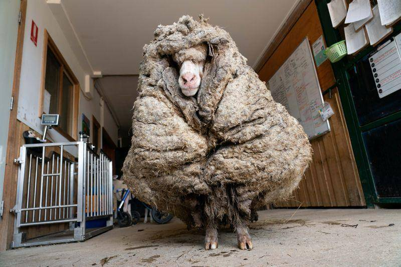 澳洲一逃跑绵羊野外获救剪下70斤羊毛!险被自己的毛压死